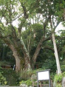 枝が折れる前の大クス (2004年9月撮影)。